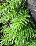 Wasserfarn - Blechnum minus - Frosthart Teichbepflanzung - Größe 80-100cm